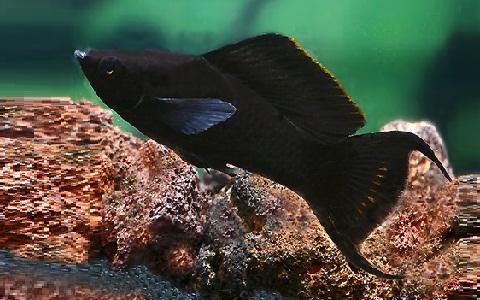 xopark6Molly-noir—Black-Lyre—Poecilia-sphenops
