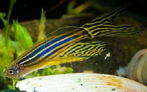 xopark6Poisson-zèbre—Danio-rerio—Zebrafish