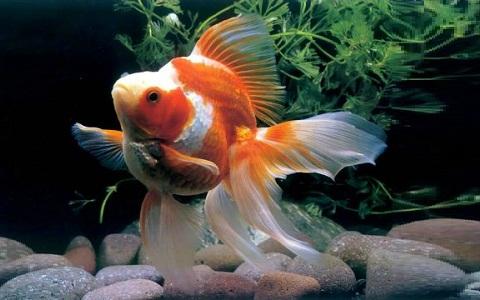 xopark6Ryukin—Ryukin-Goldfish
