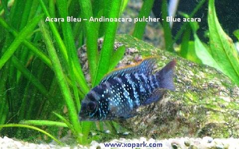 xopark7Acara-Bleu—Andinoacara-pulcher—Blue-acara