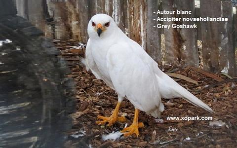 xopark7Autour-blanc—Accipiter-novaehollandiae—Grey-Goshawk