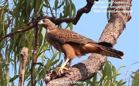 xopark7Autour-de-Toussenel—Accipiter-toussenelii—Red-chested-Goshawk