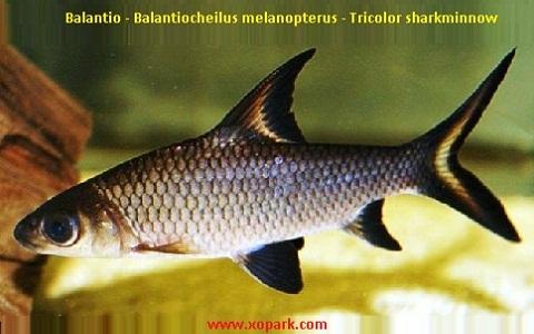 xopark7Balantio—Balantiocheilus-melanopterus—Tricolor-sharkminnow