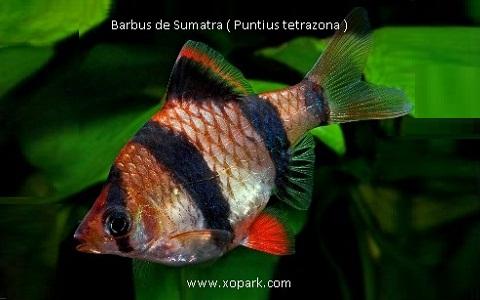 xopark7Barbus-de-Sumatra—Puntius-tetrazona—Tiger-barb