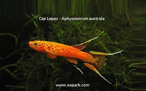 xopark7Cap-Lopez—Aphyosemion-australe—Cape-Lopez-lyretail