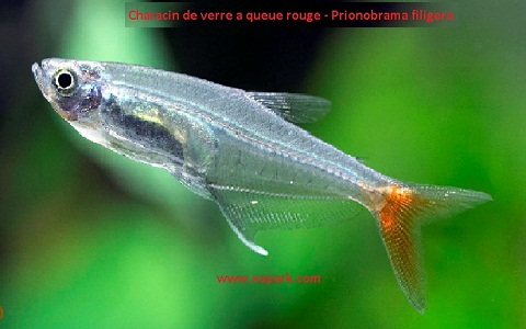xopark7Characin-de-verre-à-queue-rouge—Prionobrama-filigera—Glass-bloodfin