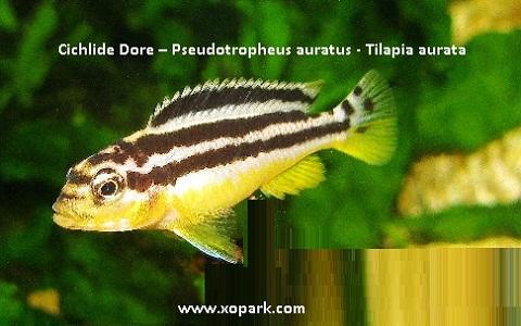 xopark7Cichlide-Dore—Pseudotropheus-auratus—Tilapia-aurata