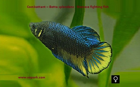 xopark7Combattant—Betta-splendens—Siamese-fighting-fish