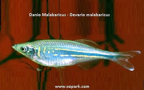 xopark7Danio-Malabaricus—Malabar-danio—Malabar
