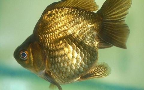 xopark7Ryukin—Ryukin-Goldfish