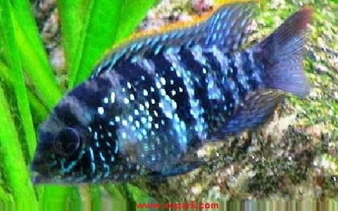 xopark8Acara-Bleu—Andinoacara-pulcher—Blue-acara