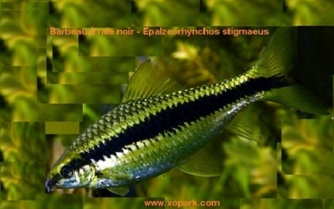 xopark8Barbeau-à-raie-noir—siamese-algae-eater-lg