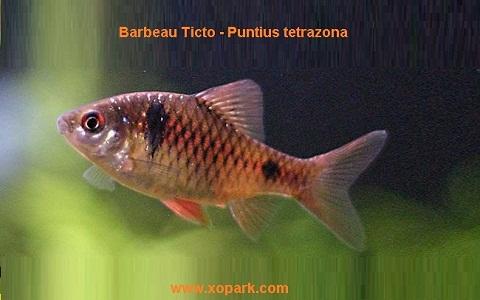 xopark8Barbeau-Ticto—Puntius-tetrazona