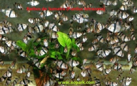 xopark8Barbus-de-Sumatra—Puntius-tetrazona—Tiger-barb