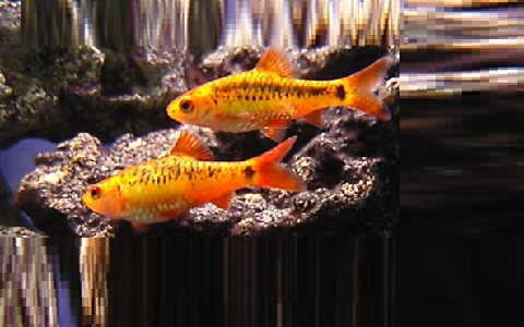 xopark8Barbus-doré—Puntius-semifasciolatus—Chinese-barb