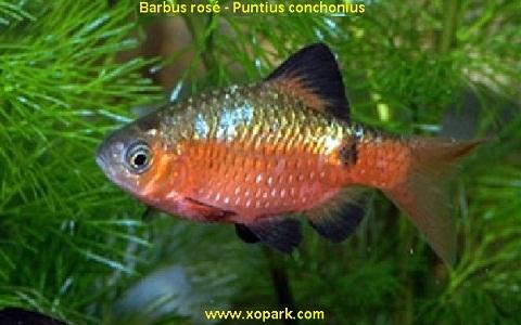 xopark8Barbus-rosé—Barbus-conchonius—Rosy-barb