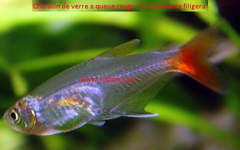 xopark8Characin-de-verre-à-queue-rouge—Prionobrama-filigera—Glass-bloodfin