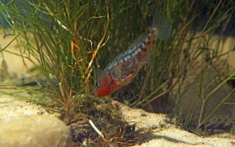 xopark8Epinoche—Stickleback—Gasterosteus-aculeatus