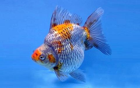 xopark8Ryukin—Ryukin-Goldfish
