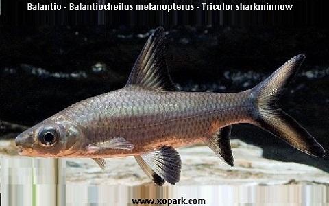 xopark9Balantio—Balantiocheilus-melanopterus—Tricolor-sharkminnow