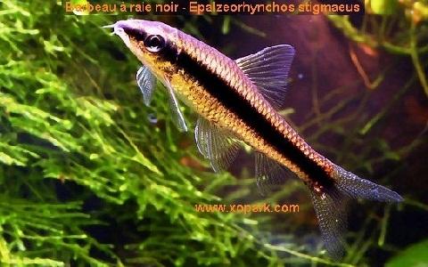 xopark9Barbeau-à-raie-noir—siamese-algae-eater-lg
