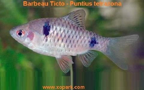 xopark9Barbeau-Ticto—Puntius-tetrazona