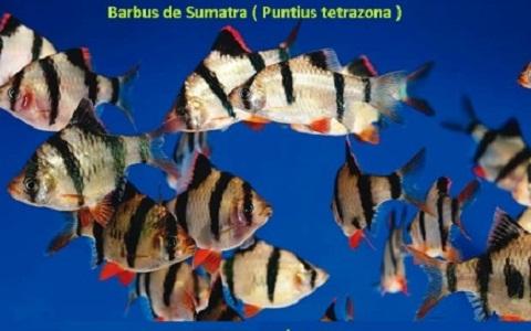 xopark9Barbus-de-Sumatra—Puntius-tetrazona—Tiger-barb