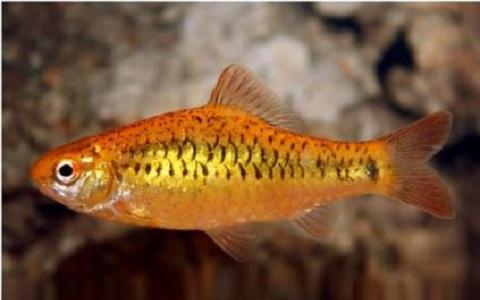 xopark9Barbus-doré—Puntius-semifasciolatus—Chinese-barb