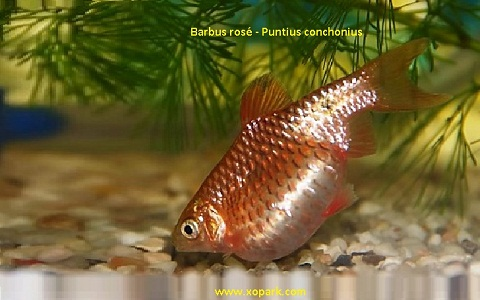 xopark9Barbus-rosé—Barbus-conchonius—Rosy-barb
