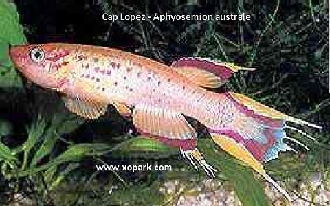 xopark9Cap-Lopez—Aphyosemion-australe—Cape-Lopez-lyretail