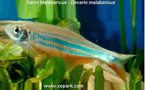 xopark9Danio-Malabaricus—Malabar-danio—Malabar