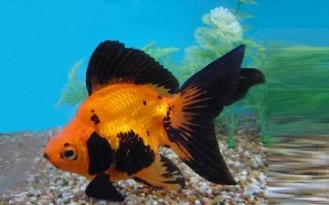 xopark9Ryukin—Ryukin-Goldfish