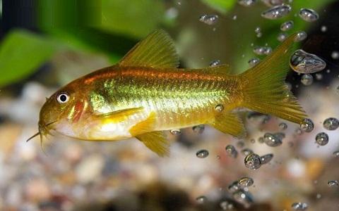 xopartk2Corydoras-fouilleur—Callichthys-aeneus—Bronze-corydoras