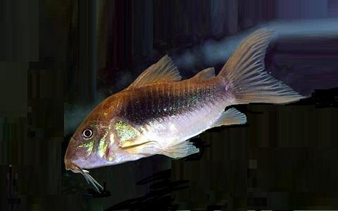 xopartk4Corydoras-fouilleur—Callichthys-aeneus—Bronze-corydoras