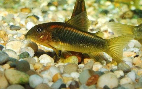 xopartk7Corydoras-fouilleur—Callichthys-aeneus—Bronze-corydoras
