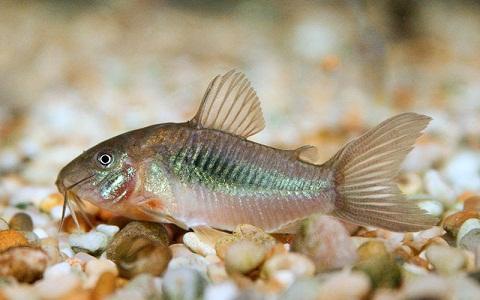 xopartk8Corydoras-fouilleur—Callichthys-aeneus—Bronze-corydoras