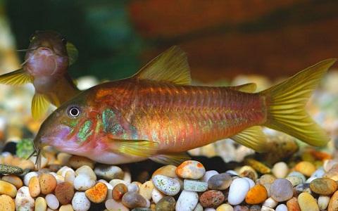 xopartk9Corydoras-fouilleur—Callichthys-aeneus—Bronze-corydoras