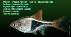 Arlequin---Phenacogrammus-interruptust---Thayeria-boehlkei-