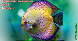 Discus – Symphysodon aequifasciatus - Blue discus-xopark00