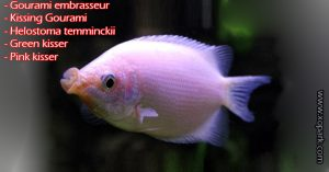 Gourami Embrasseur - Helostoma-temminckii - Green-kisser-xopark00
