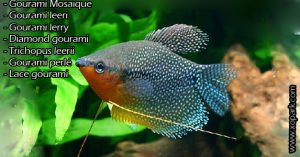 Gourami Mosaique – Trichogaster leeri - Mosaic gourami-xopark