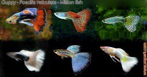 Guppy et un poisson d'eaux douces le plus populaire, ces descriptions, ces photos et ces vidéos sont ici à xopark