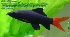 xopark9Labeo-à-queue-rouge---Epalzeorhynchos-bicolor---Bicolor-labeo