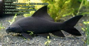 Labéo noir . Black sharkminnow . Labéo comestible . Morulius noir . Requin noir . Chrysophekadion polyporos . labeo . Labeo crysophekadon . Morulius chrysophekadion. Morulius dinema . Morulius erythrostictus . Morulius pectoralis . Rohita chrysophekadion . Rohita cyanomelas . Rohita koilogeneion . Rohita pectoralis . Rohita polyporos