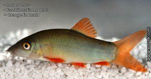 Loche verte - Yasuhikotakia modesta – Orange fin loach poisson d'eau douce