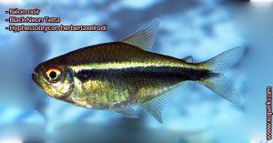 Néon noir (Tétra néon noir - Black Neon Tetra - Hyphessobrycon herbertaxelrodi - ) est un poisson d'eaux douces, ces description, ces photos et ces vidéos sont ici à xopark.com