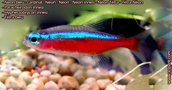 Neon bleu . cardinal . Neon . Néon . Neon innesi . Néon Tétra . Tétra-Néon