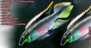 Pelmato . Pulcher . Pelmeto . Kribs . Kribensis . Ciclidé pourpre . Cichlidé pevicachromis pulcher . Rainbow krib . Pelvicachromis pulcher) est un poisson d'eaux douces, ces descriptions, ces photos et ces vidéos sont ici à xopark.com