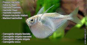 Poisson-hachette---Carnegiella-strigata-fasciata---Marbled-hatchetfish