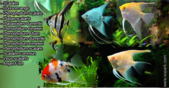 Scalaire – Pterophyllum scalare - Angel Fish - xopark
